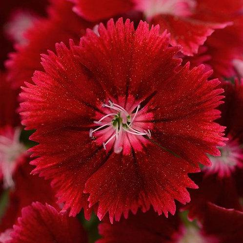Dianthus Floral Lace Crimson 6 pack