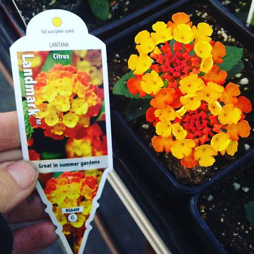 """Lantana {Red Yellow} Citrus 3.5"""" pot"""
