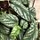 """Thumbnail: Houseplant 8"""" Hanging Rex Begonia"""