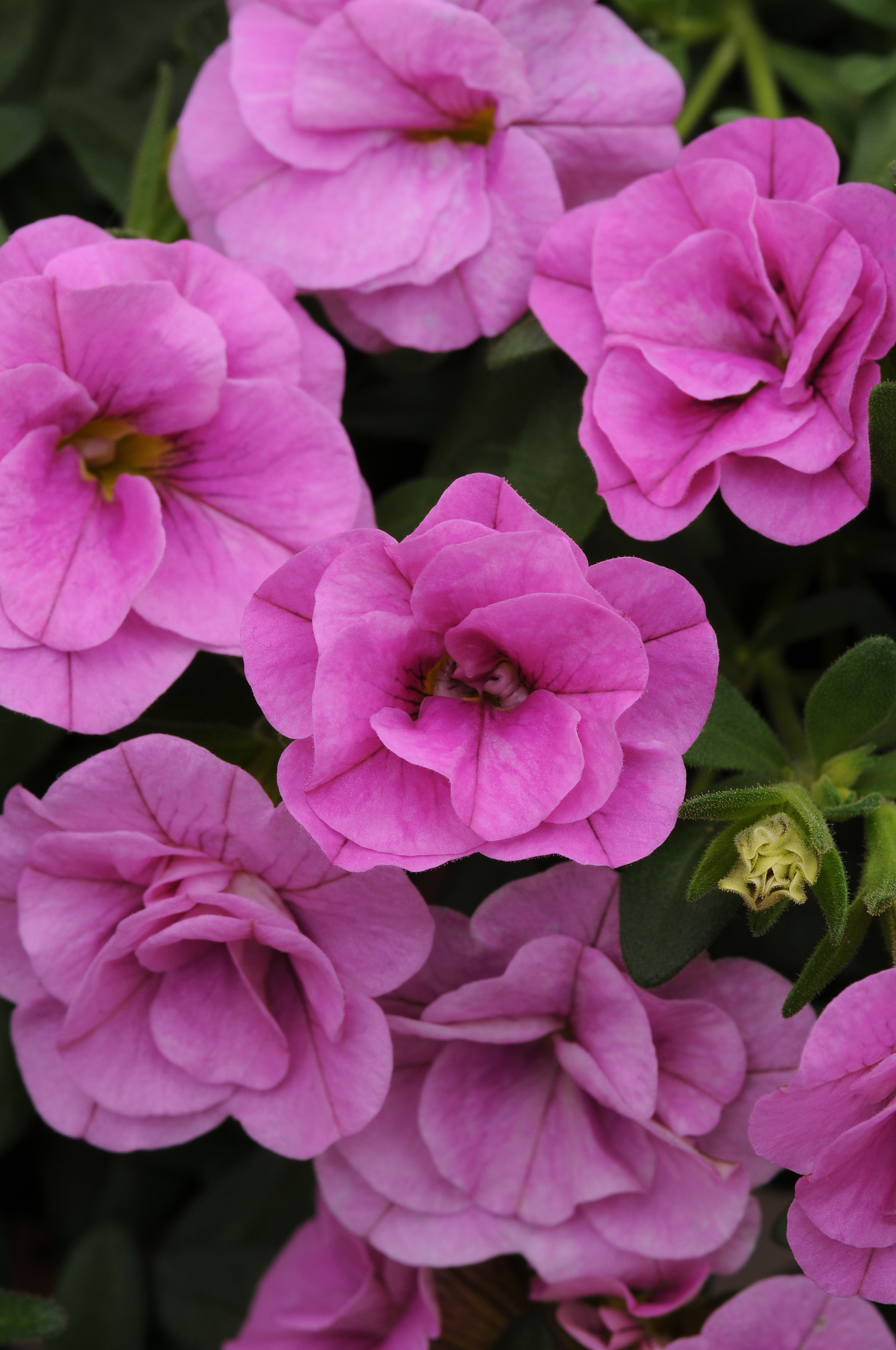 Calibrachoa_MiniFamous_Double_Pink_Bloom_2566