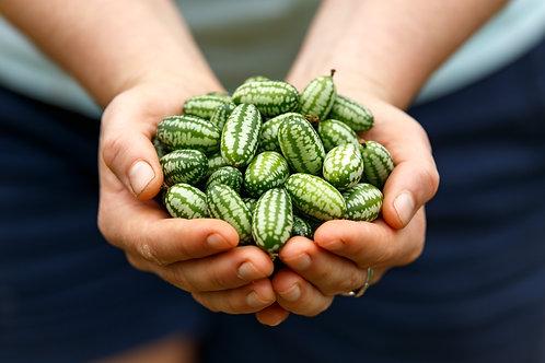 Cucumber Cucamelon 6 pack