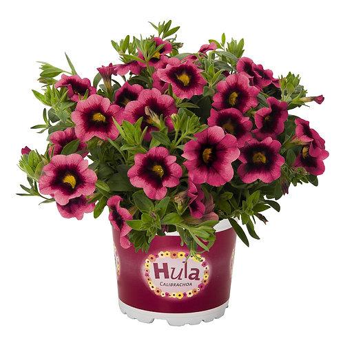 """Calibrachoa Hula Hot Pink 3.5"""" pot"""