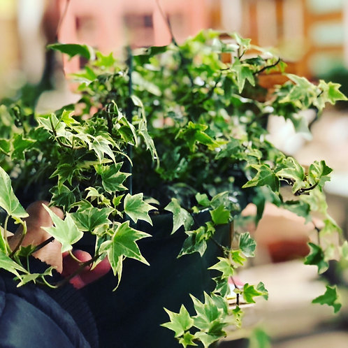 """Houseplant - 8"""" English Ivy Hanging Basket"""