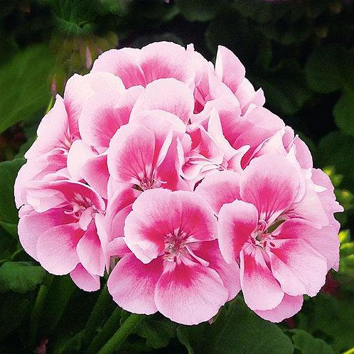 "Geranium Zonal Sunrise Raspberry Eye 3.5"" pot"