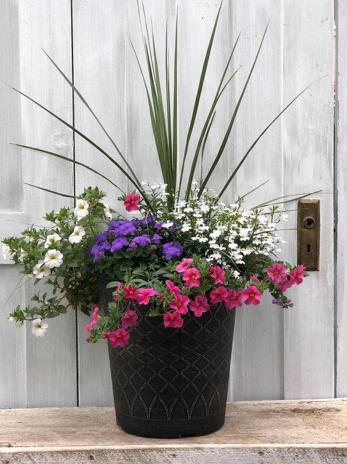 """Grass Dracena 3.5""""pot"""