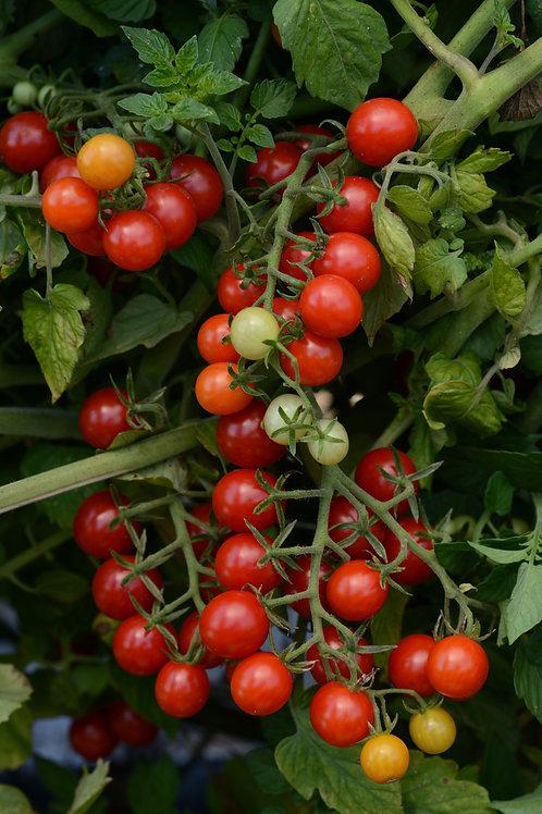 "Tomato Candyland - 3.5"" Pot"
