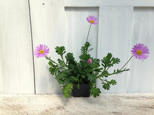 """Brachyscome Fresco Purple 3.5"""" pot"""