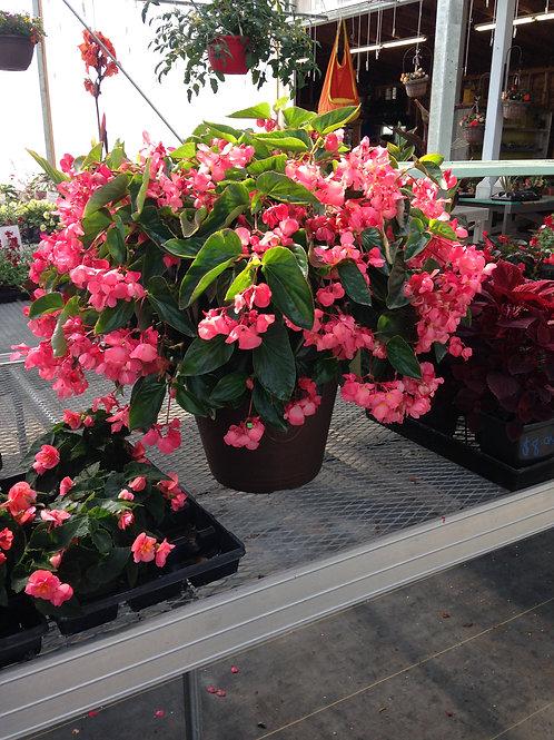 """Begonia Dragon Wing Pink 3.5"""" pot"""