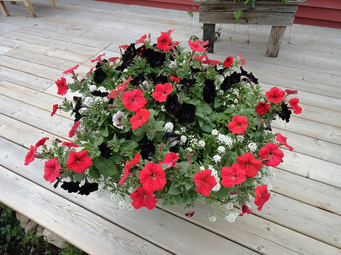 "Petunia Sweetunia Black Satin - 3.5"" pot"