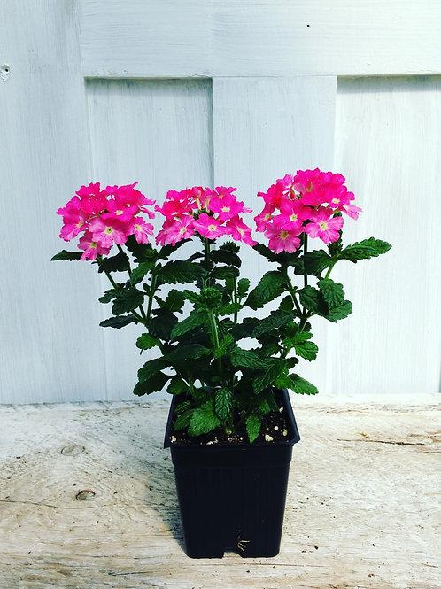 """Verbena Empress Pink Charme 3.5"""" pot"""