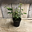 """Thumbnail: Houseplant 4"""" Weeping Fig"""