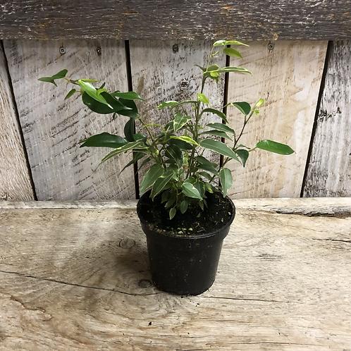 "Houseplant 4"" Weeping Fig"
