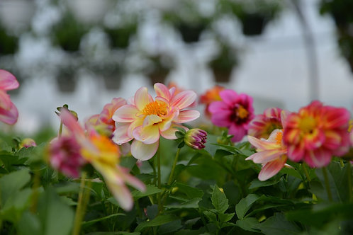 "Dahlia {Pink Lemon} Shari 6"" pot"