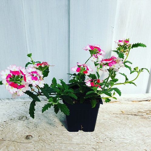 "Verbena Bebop Pink 3.5"" pot"