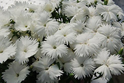 Dianthus Diana Loving White 6 pack