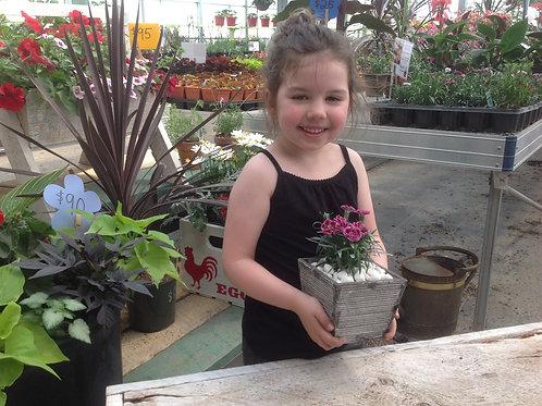 """Dianthus SuperTrouper Velvet + White {Carnation} 3.5"""" pot"""
