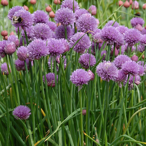 Chives Onion -Herb