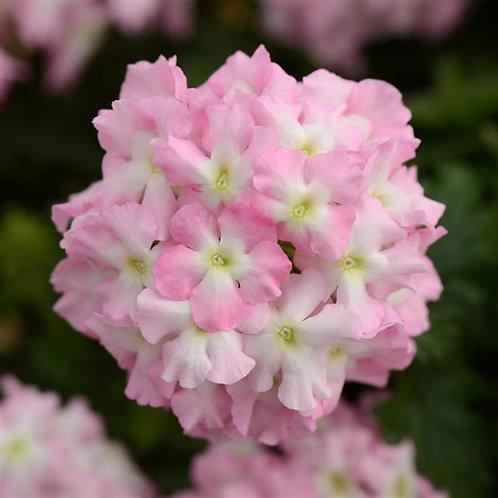 """Verbena Light Pink and Eye 3.5"""" pot"""