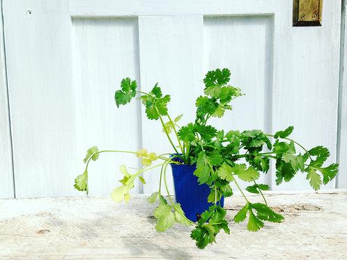 Cilantro Santo -Herb
