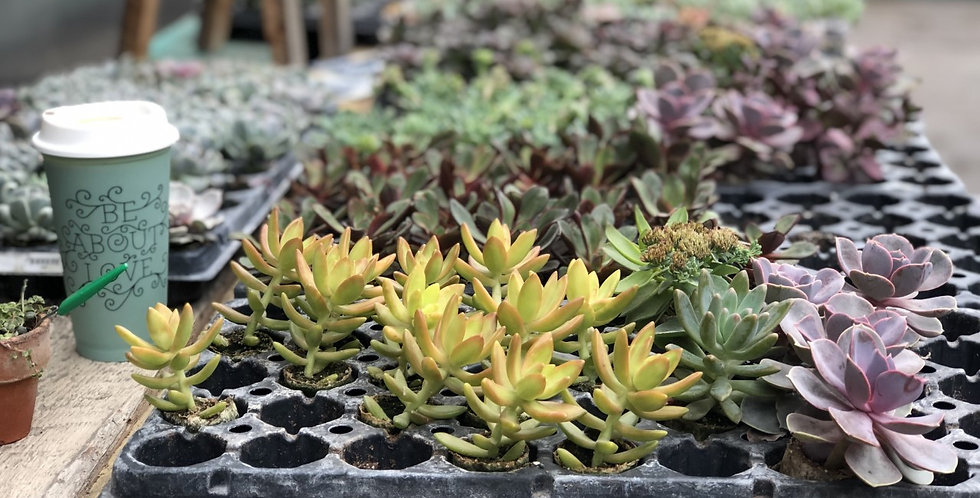 Tray of 50 Mixed Succulents - Echeveria