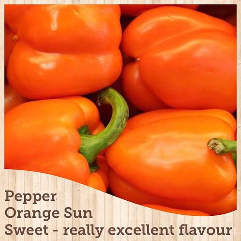 "Pepper Bell Orange Sun 3.5"" pot"
