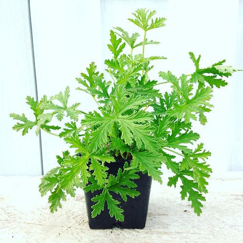 """Geranium Citrosa 3.5"""" pot"""
