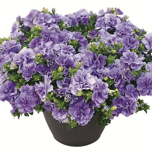 """Petunia Double Lavender - 3.5"""" pot"""