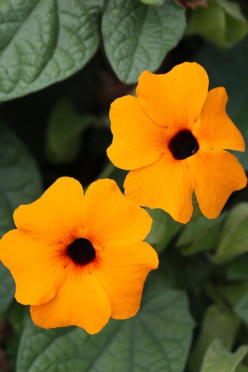 Thunbergia Tower Power Orange 1 gallon pot