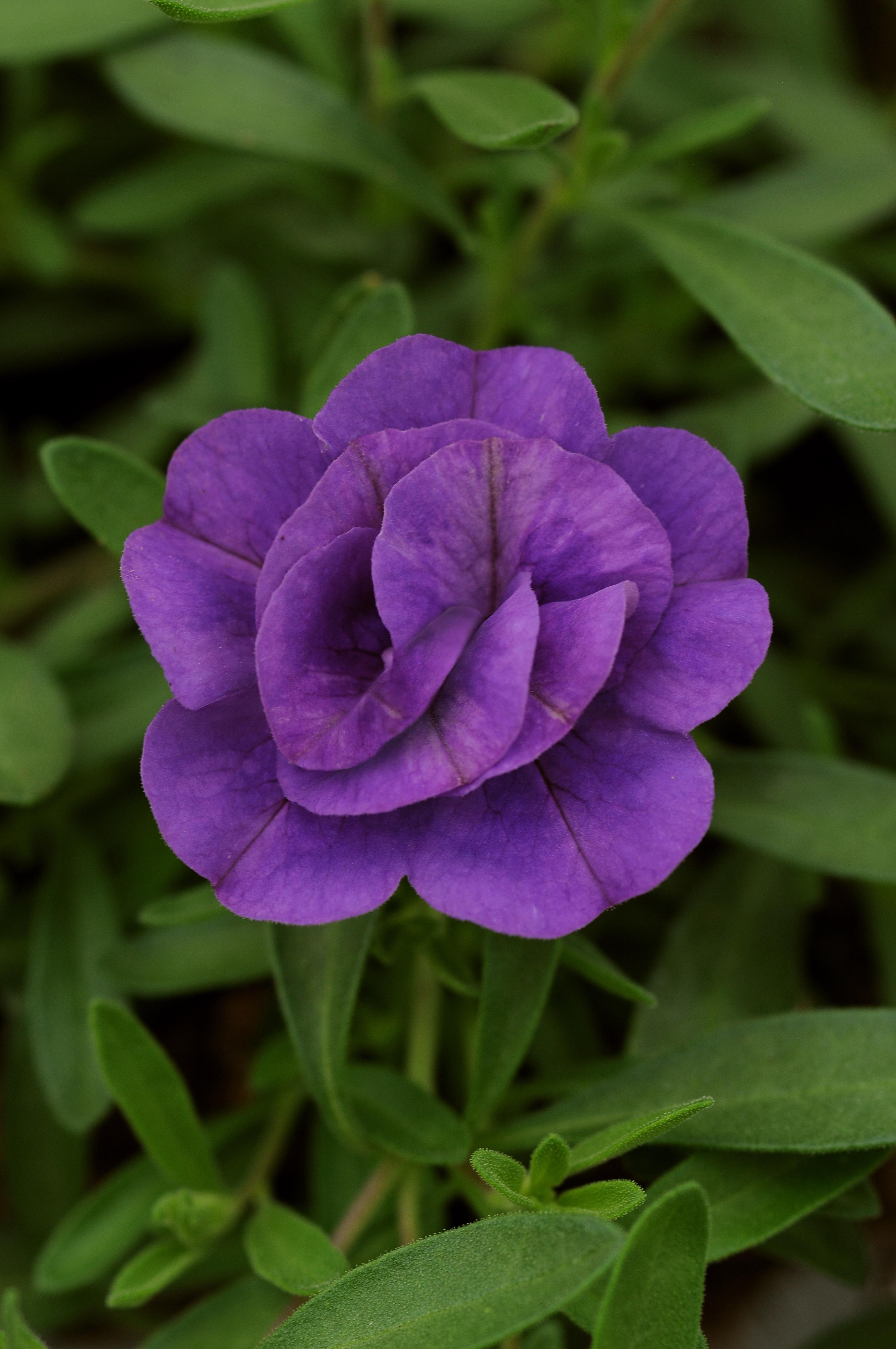Calibrachoa_MiniFamous_Double_Blue_Bloom_2626