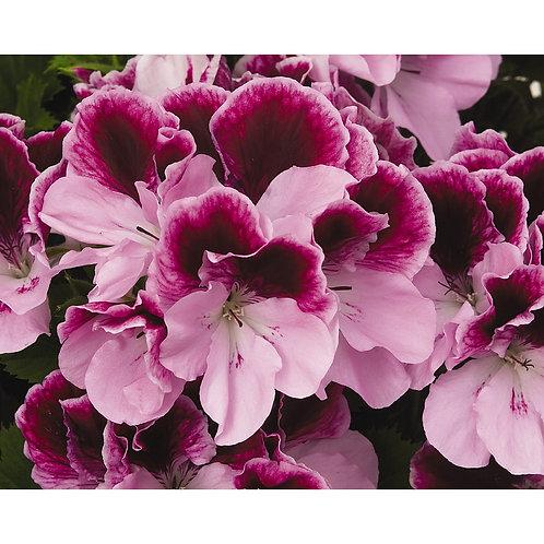 "Geranium Regal Elegance Purple Majesty 6"" pot"