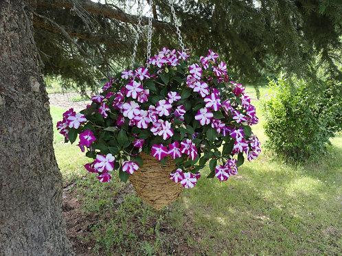 """Impatiens Violet Star 3.5"""" pot"""