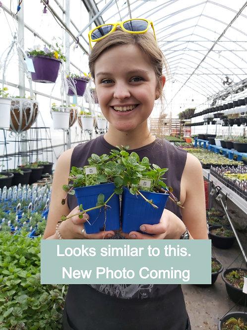 Mint Basil - Herb