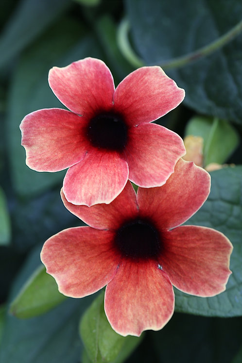 Thunbergia Tower Power Red 1 gallon pot