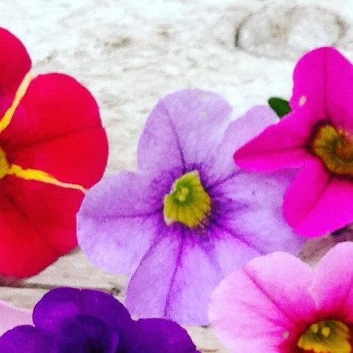 "Calibrachoa Neo Violet Ice 3.5"" pot"