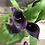 Thumbnail: Houseplant Calla Lily Dark Purple
