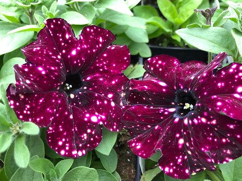 "Petunia Headliner StarrySky Burgundy -  3.5"" pot"