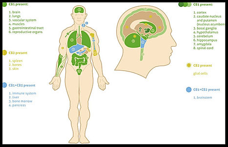 endocannabinoid system graphic_edited.jp