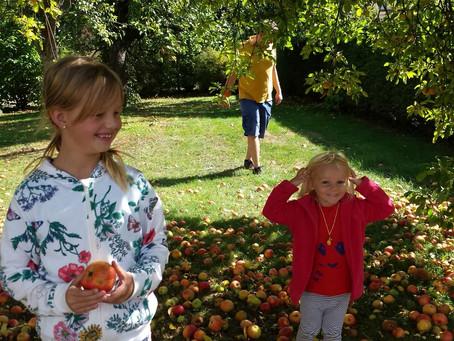 La récolte des pommes c'est parti !