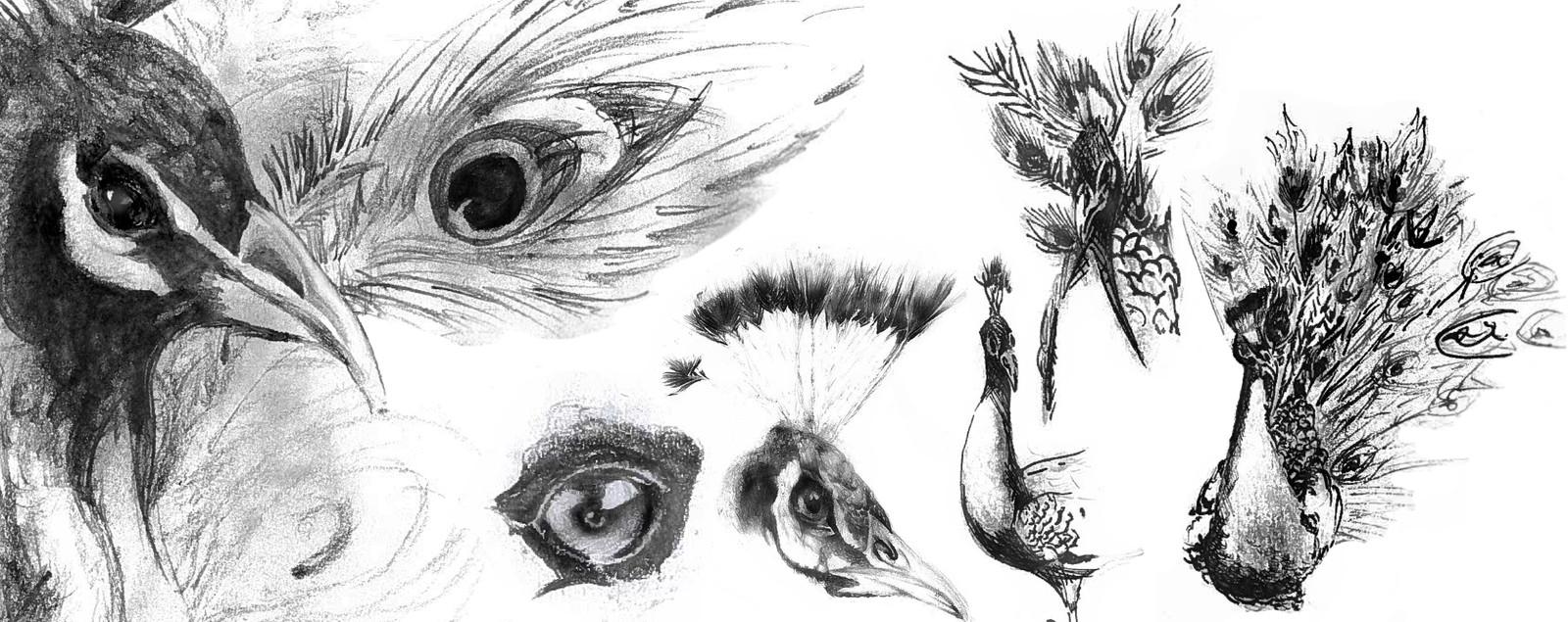 Inspiration peacock sketches