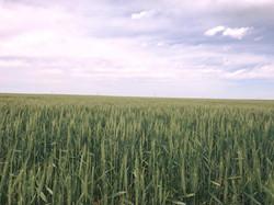 Wheat Pasture 2017.jpg