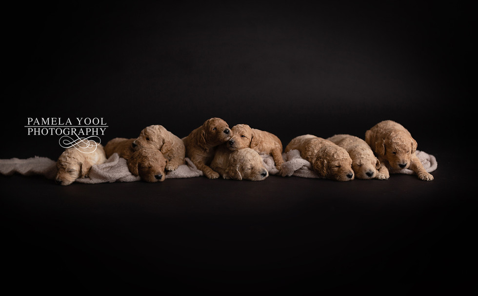 Poodle Puppy Professional Photoshoot