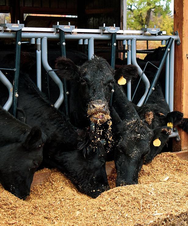 Black Angus cows eating