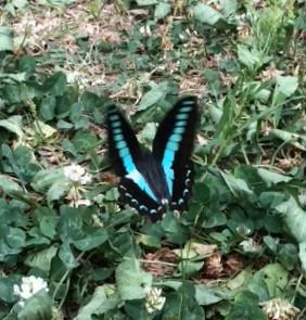 Skyのようなアゲハ蝶