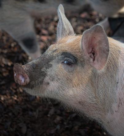 Pork Eyeing Us Up.