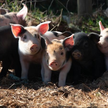 A mixture of piglets