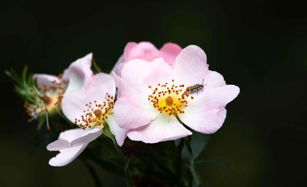 Pink-Dog-Rose-with-Bug.jpg