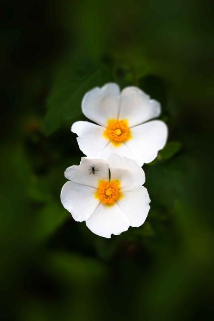 White-and-Yellow-Cistus