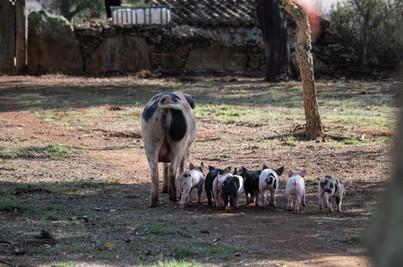 Mash & her Piglets