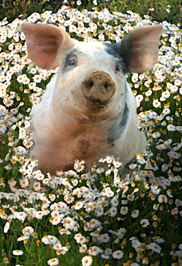 Pinky Pig-in-Camomile