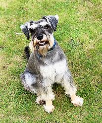 Grey Schnauzer dog sat on grass